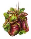Cephalotus follicularis, insectivorous pitchers