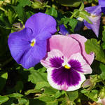 Floristic Publishing: Pansy