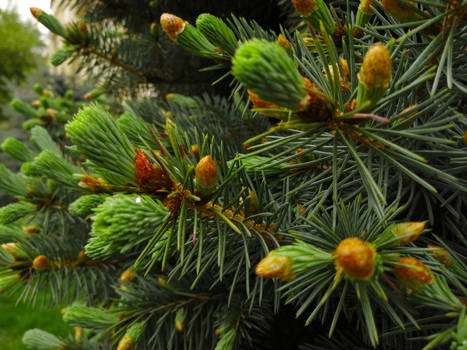 Young Fir Branches