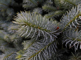Young Fir Branches. Step 4