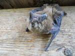 Very Angry Bat