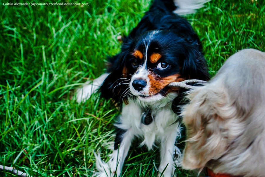 Puppy tug o' war by Apeanutbutterfiend