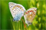 Making Butterflies II