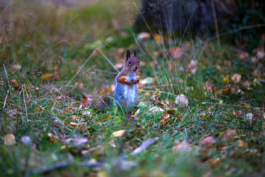 Squirell by olgaFI