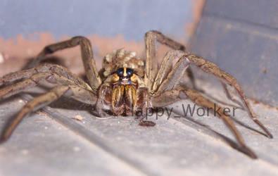 Wolf Spider--Close up