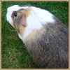 guinea pig avatar by thebluemaiden