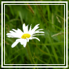 daisy avatar by thebluemaiden