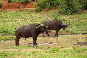 Buffalo - KNP, South Africa by Paddy16