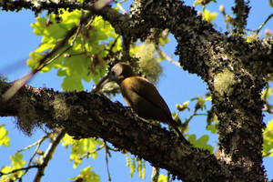 Olive woodpecker - Grahamstown, South Africa by Paddy16
