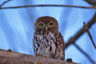 Pearl-spotted owlet - Kalahari, South Africa by Paddy16