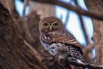 Pearl-spotted owlet 2 - Kalahari, South Africa