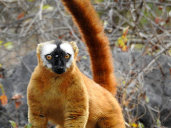 16-07-2019 Lemur of Madagascar 3 by Dunkel17