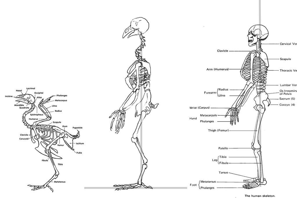 Anatomy Of A Chicken Leg