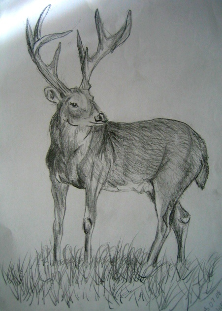 Deer pencil sketch by ooba titch