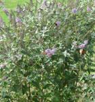 Monarch Butterflies Again