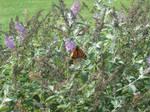 More Monarch Butterflies