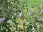 Monarch Butterfly Flower