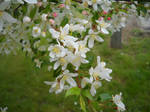 White and Pink Flowering Tree 2