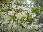 White and Pink Flowering Tree 3