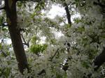 Skyward White Flowering Tree