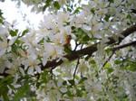 Blurry Honeybee and White Flowering Tree