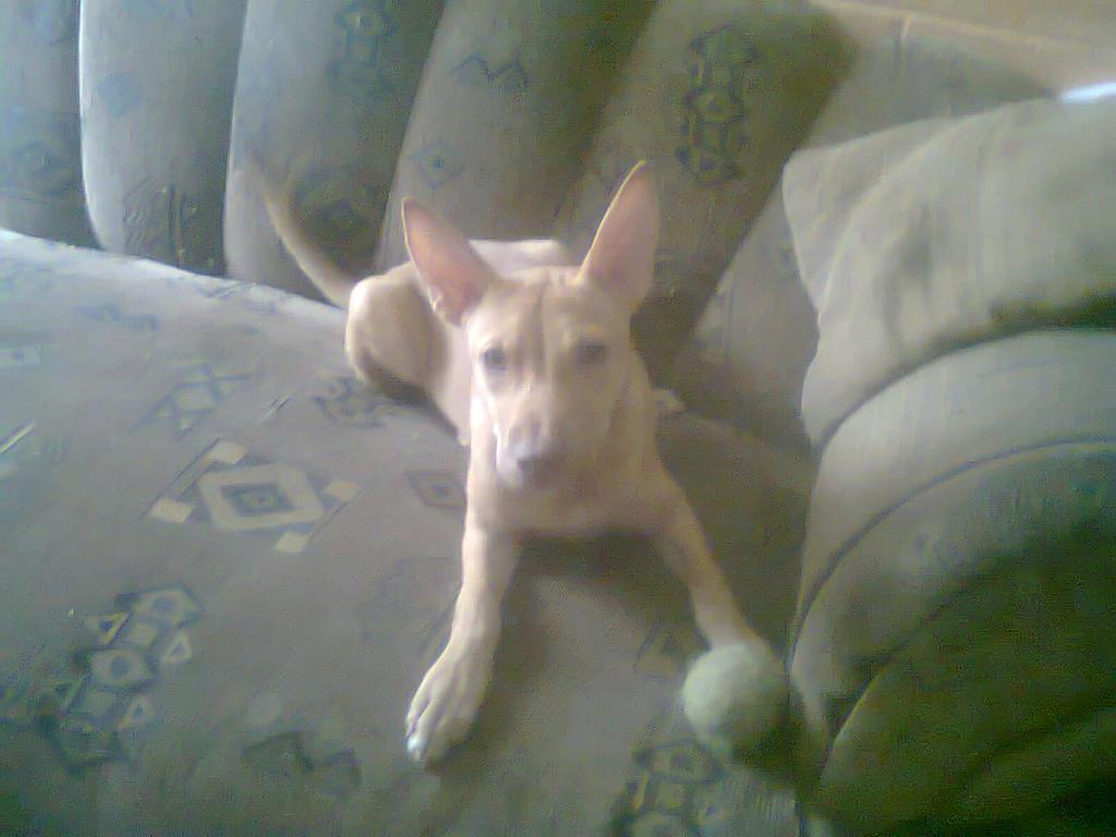 la mas nena de casa mi pitbull Clio by lakyvaquero