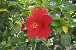 Hibiscus 2 by CherryPhotos