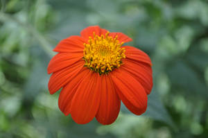 Orange Daisy by CherryPhotos