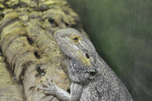 Lizard by CherryPhotos