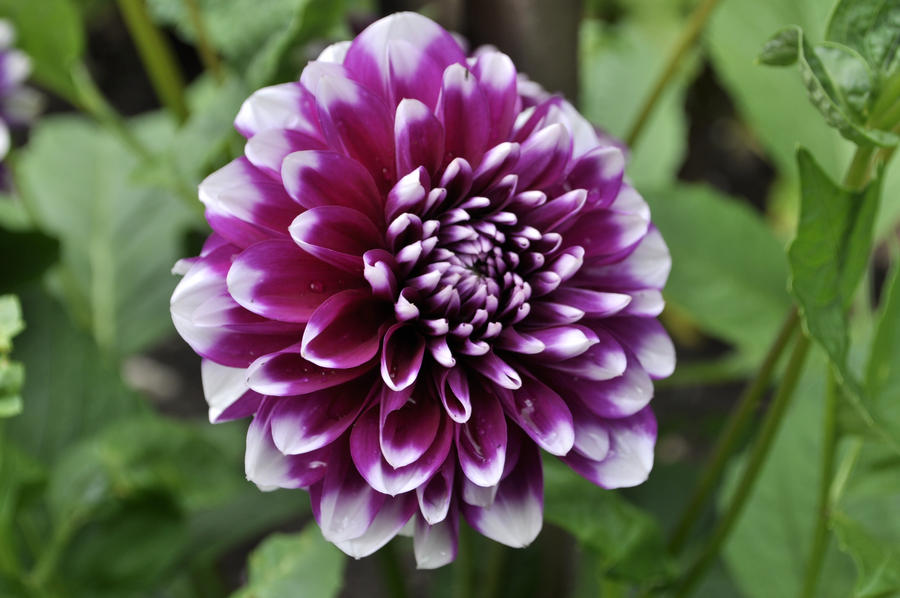 Dahlia deviant with the bennet stepbrothers intro