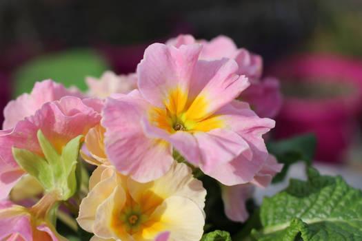Pale Pink Primula