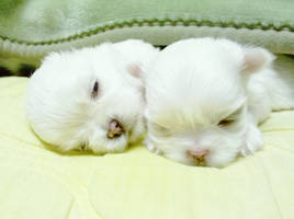 Maltese Pups by EskimoPirate