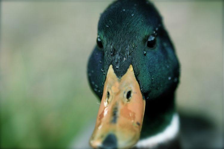 IMAGE: http://fc91.deviantart.com/fs39/f/2008/320/2/2/Duck_5_by_cazzyae.jpg