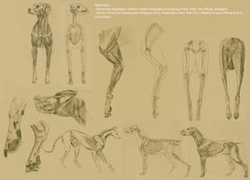 Canine Anatomical Study by Deansta