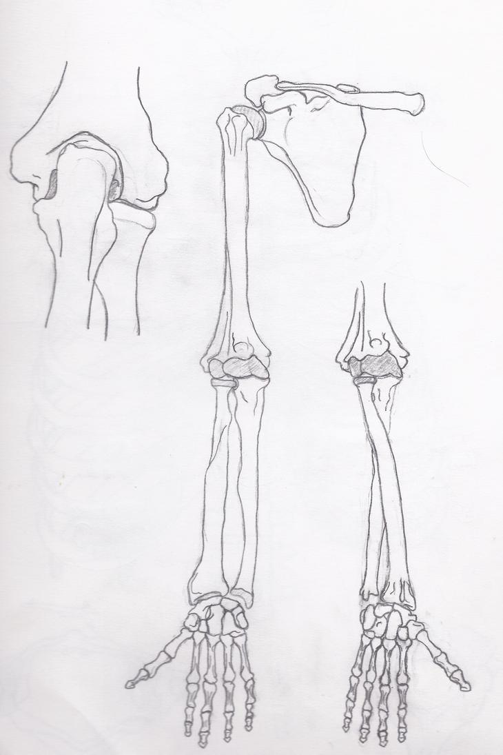 Skeletal System Upper Appendage By Mcfreeky On Deviantart