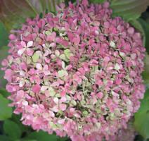 Hydrangea Macrophylla by Jellify