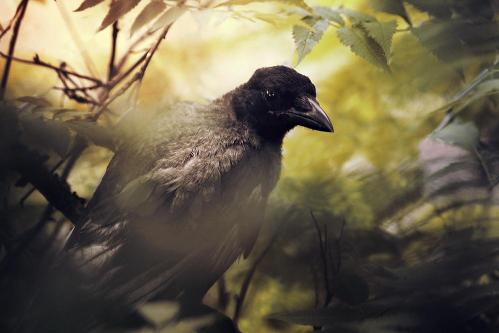 crow's cry by Thunderi