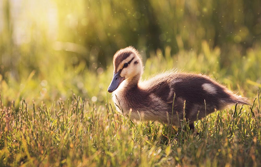 Little duckling by Thunderi
