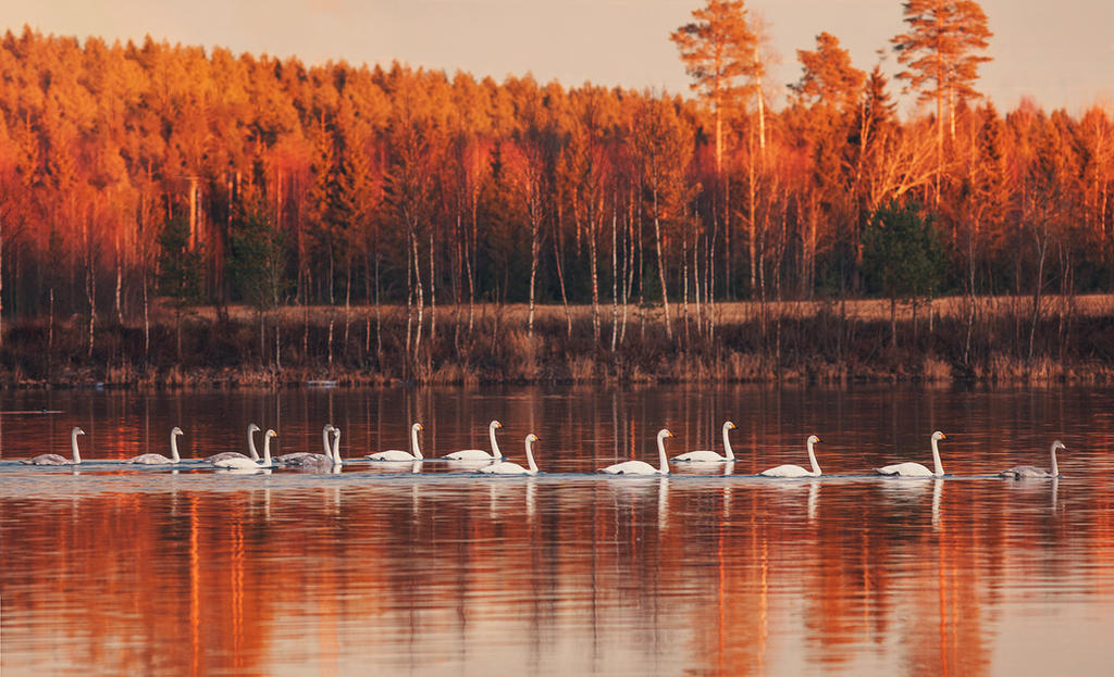 whooper swans and sunset by Thunderi