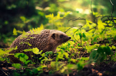 Hedgehog's summer by Thunderi