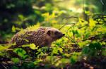 Hedgehog's summer