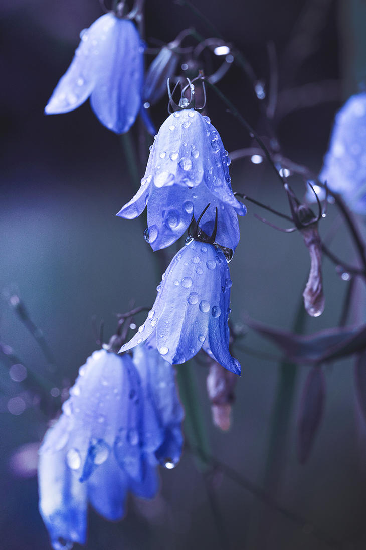 Rainy day harebells by Thunderi