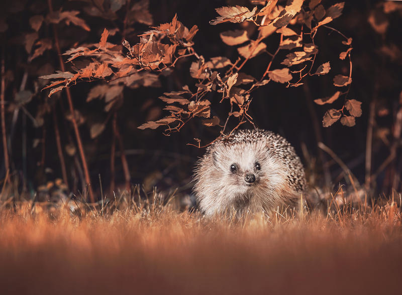 Hedgie's autumn moment by Thunderi