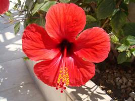 Hibiscus by svet-svet