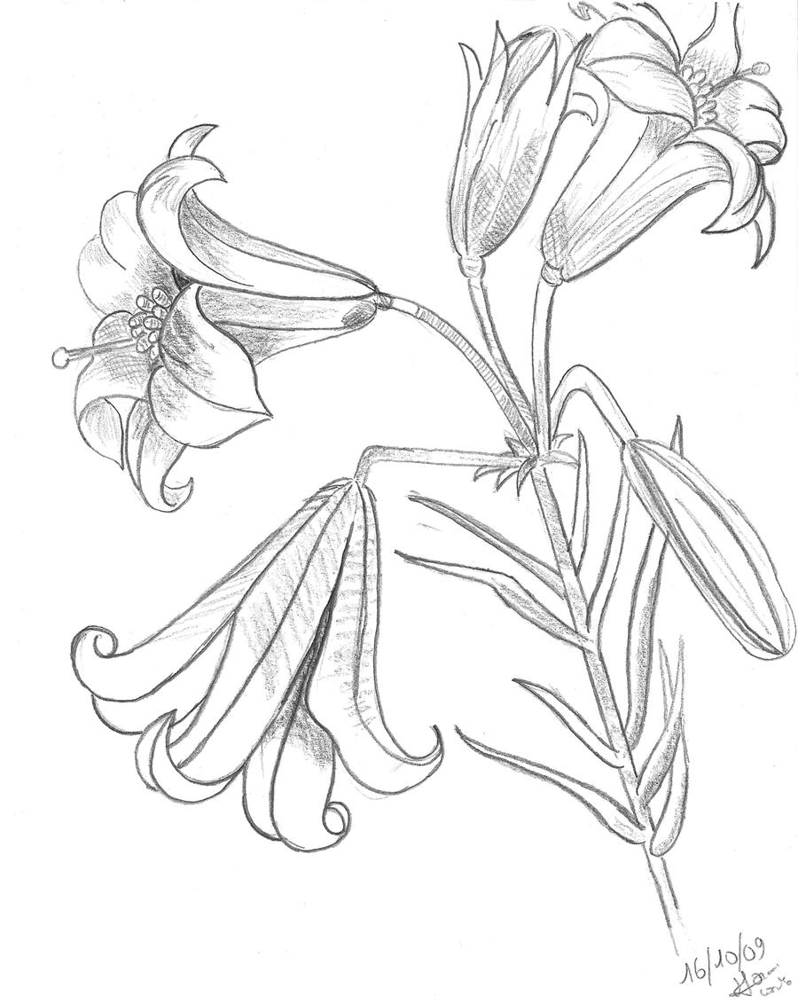 lily coloring pages - royal lily drawing by gossipcoco on deviantart