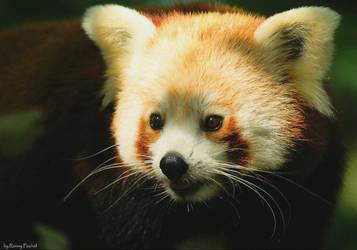 Red Panda by lokinst