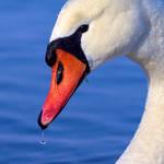 Bonny Swan
