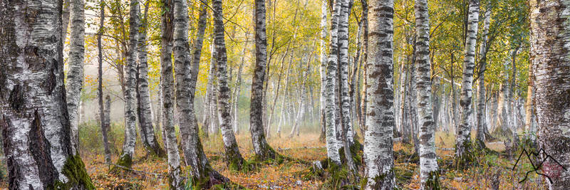 Birchtrees a beautiful misty forest capture