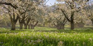 cherry blossom saison in bavaria