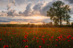 Poppy Field - Mohnfeld in Bayern